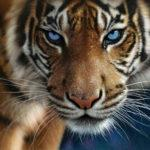 almaznaya-mozaika-kartina-glaza-tigra