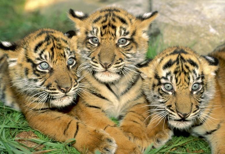 kartina-tri-tigrenka-v-tekhnike-almaznoj-vyshivki